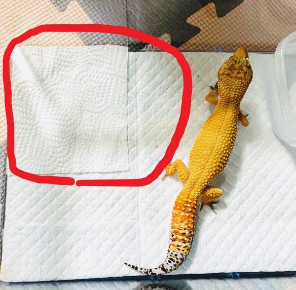 レオパ飼育環境の写真