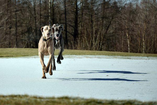 ドッグランを走るグレートデンの写真