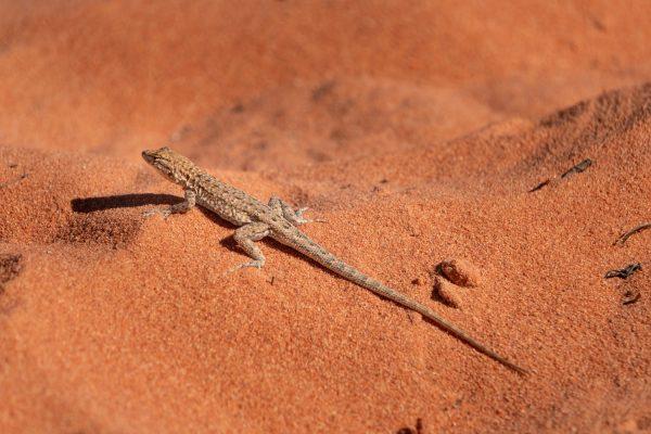 砂漠にいるトカゲの写真