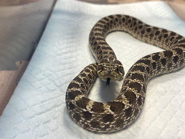 セイブシシバナヘビの写真