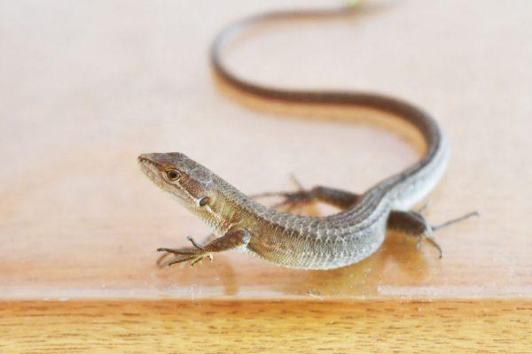 カナヘビの写真