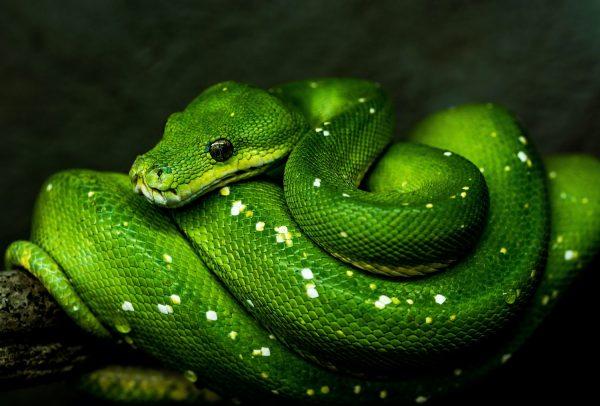グリーンパイソンの写真