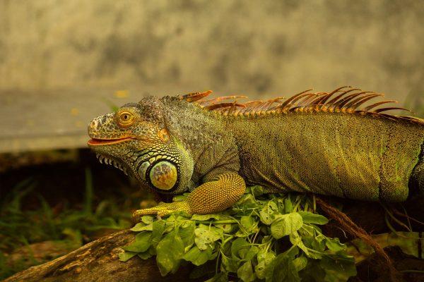 イグアナの写真